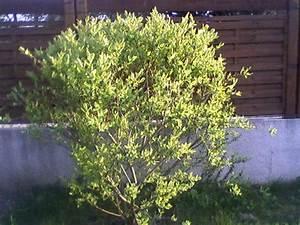 Quand Tailler Un Saule Crevette : saule crevette pas rose au jardin forum de jardinage ~ Melissatoandfro.com Idées de Décoration