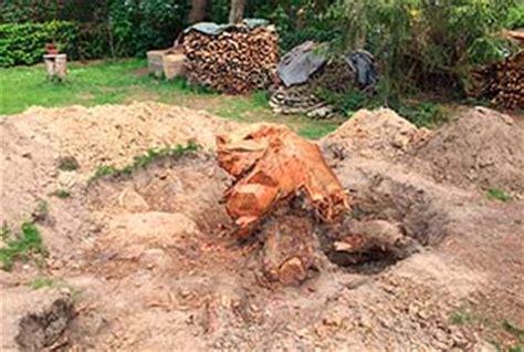 baumstumpf entfernen hamburg baumstumpf bepflanzen gallery of wurzelfrse baumstumpf entfernen stubbenfrse wurzel with