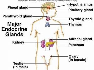 Endocrine System Diagram
