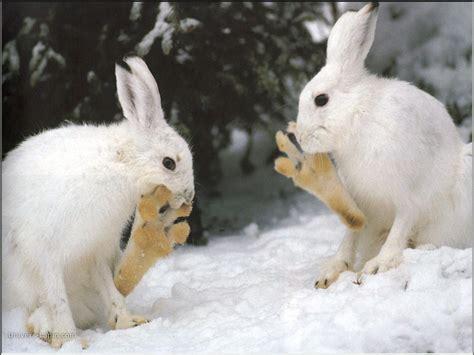 hermine bureau fond d 39 écran de lapin lapins des neiges