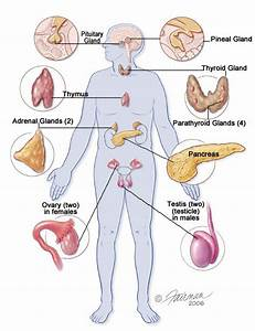 21 Best The Explanation Of Endocrine Gland Hormones And