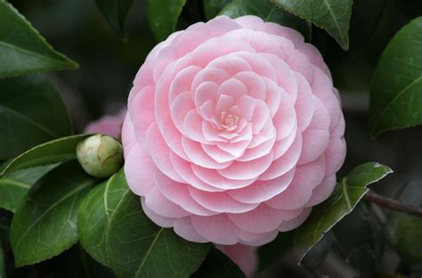 types of camellia flowers camellia flower flowers world