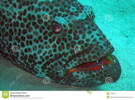 grouper eye evil gives teeth