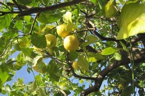 malattie limone in vaso limone malattie malattie delle piante malattie limone