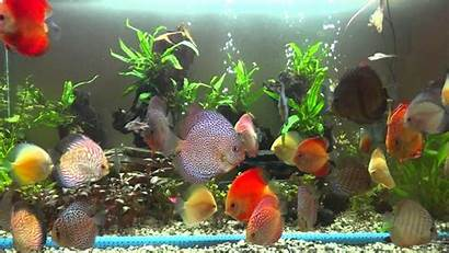 Discus Fish Tropical Wallpapers Different Types Varieties