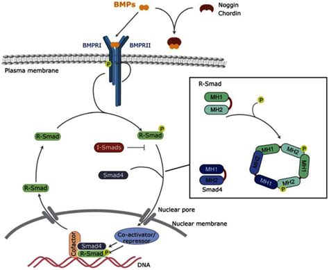 Bmp Signaling In Telencephalic Neural Cell Specification