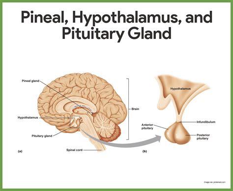 Endocrine System Anatomy And Physiology Nurseslabs