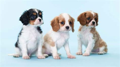 Cavalier King Charles Spaniel Shed List Of Synonyms And