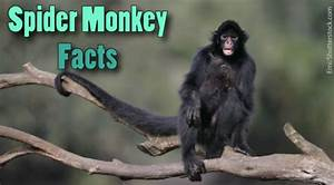 Spider Monkey Facts For Kids  Information  Pictures  U0026 Video
