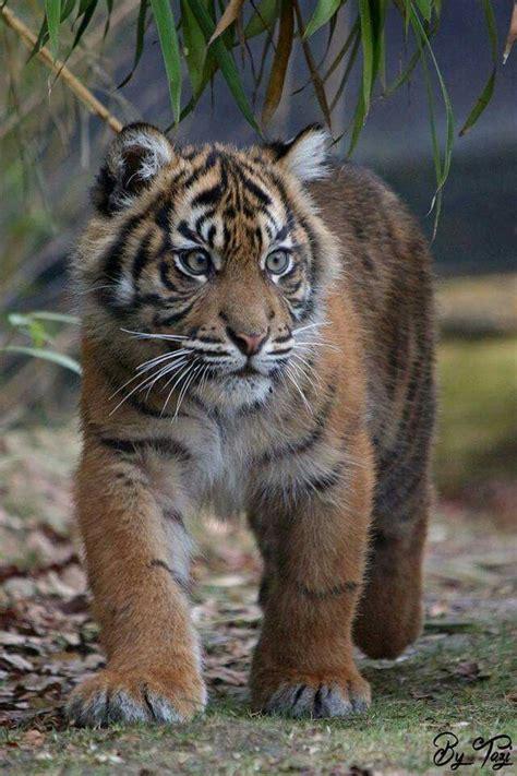 Sumatran Tiger Smallest Subspecies The
