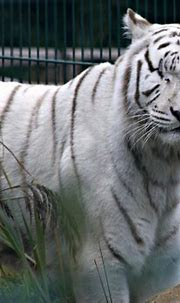 white tiger one eye | Chris - Our Father has sadly passed ...