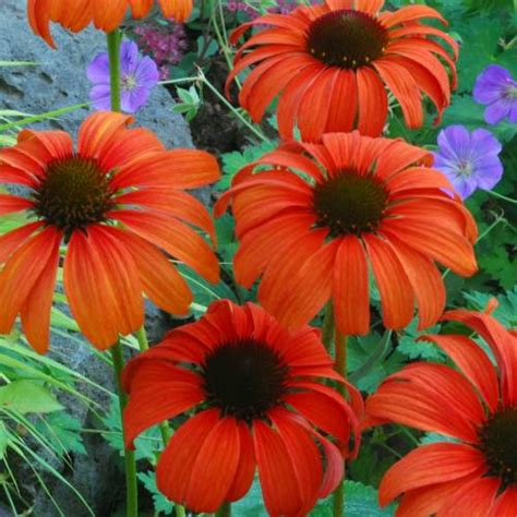tangerine coneflower coneflower tangerine dream buy coneflower tangerine dream echinacea tangerine dream
