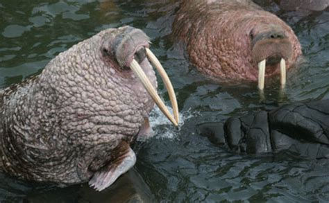 pacific walrus species profile alaska department  fish