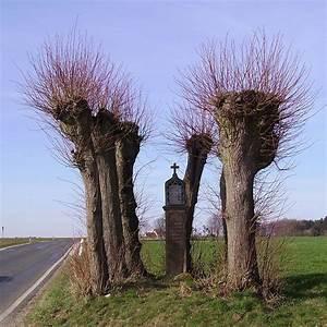 Taille Du Saule Pleureur : taille arboriculture wikip dia ~ Melissatoandfro.com Idées de Décoration