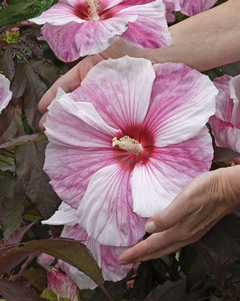 hibiscus kopper king luberach