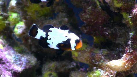 black snowflake clownfish youtube