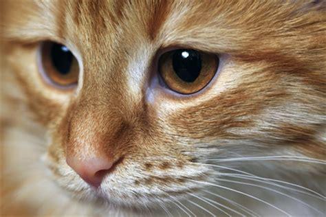 maladie des yeux du chat comment traiter les affections