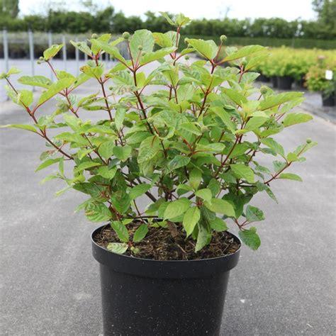 Cephalanthus occidentalis - Kaufen Sie Pflanzen bei Coolplants