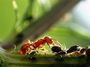 Was Essen Ameisen : ameisen nat rlich und chemisch bek mpfen ~ Lizthompson.info Haus und Dekorationen