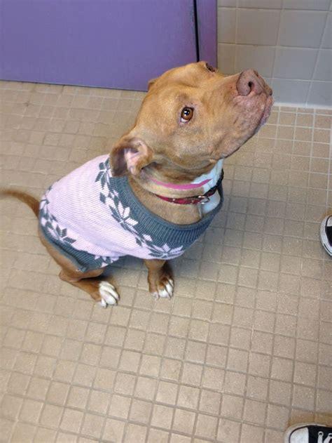 pitbull sweaters oltre 1000 idee su cani pit bull su cuccioli