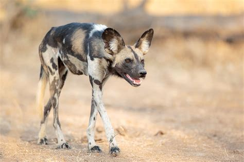 africas wild dogs africa geographic magazine