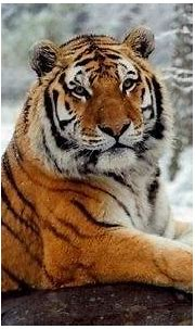 What are the types of tiger? - Quora