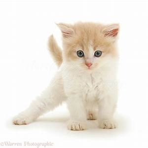 Ginger-and-white Persian-cross kitten photo WP33042