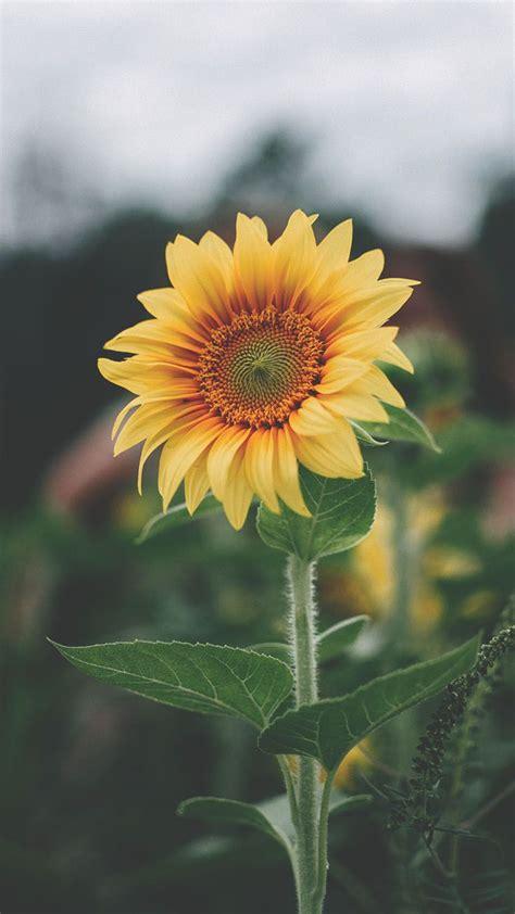 12 Super Pretty Sunflower iPhone Wallpapers | Sunflower ...