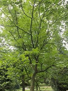 Blumenerde Günstig Online Kaufen : wallnussbaum juglans regi g nstig online kaufen ~ Bigdaddyawards.com Haus und Dekorationen