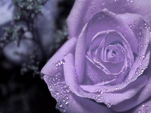Purple Rose - Purple Wallpaper (34727273) - Fanpop