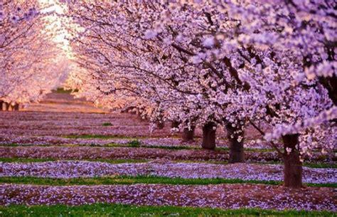 Blossom Flowers Sakura Drop Animated Wallpaper