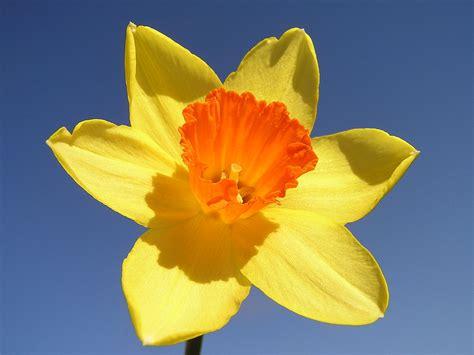 daffodils wikiquote