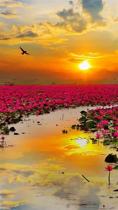 Lotus Flowers Wallpapers 1080 Iphone 1280 1920