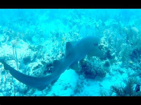scuba diving  sharks   florida keys youtube