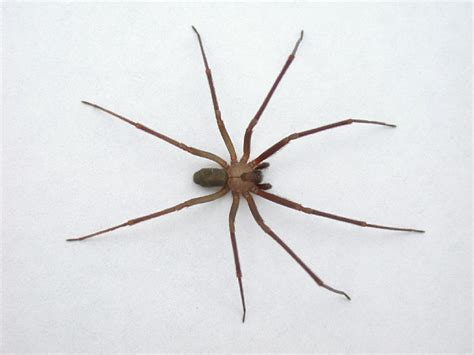 Light Brown Spiders by Organic Advice Library