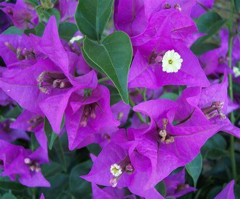 purple vine flowers names purple vine flowers names 28 images file chinese wisteria bl 252 tentrauben jpg wikimedia