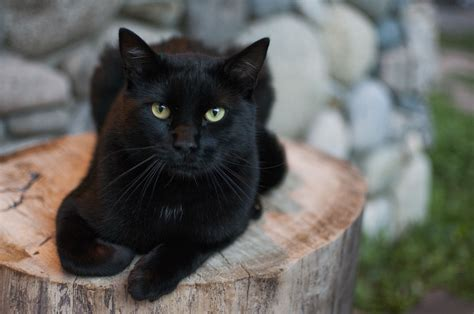 black cats interesting facts about black cats