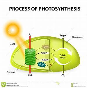 Photosynthesis Stock Vector  Image Of Oxygen  Light  Macro
