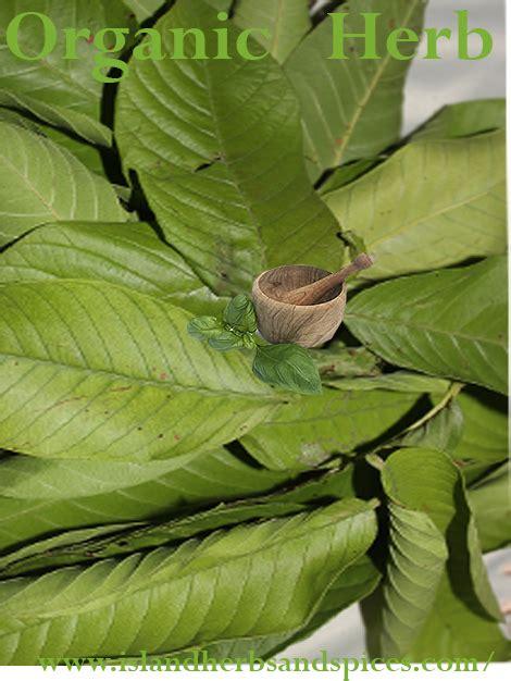 guava leaves  blood sugar diabetes tea island