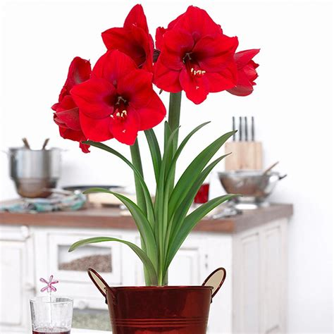 zyverden amaryllis kit bulbs bulbs with