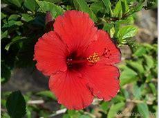 National Flower Of Puerto Rico Hibiscus 123Countriescom