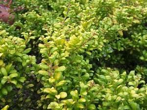Ilex Crenata Krankheiten : ilex crenata 39 convexa gold 39 ~ Orissabook.com Haus und Dekorationen