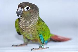 Green Cheek Conures as Pets - Species Profile