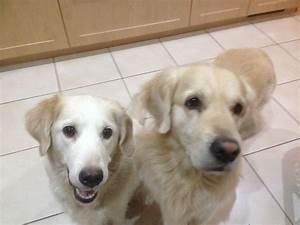 golden retriever puppies for sale chichester west