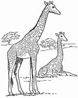 Giraffe Coloring Pages Printable Children Forget Supplies Don sketch template