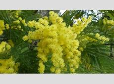 Free photo Mimosa, Flower, Bloom, Yellow Free Image on