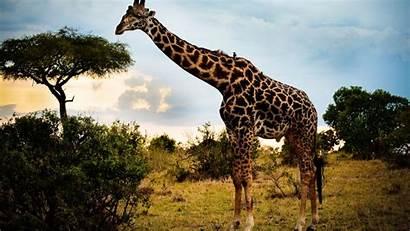 Animal Wide Giraffe 1317 Resolucion