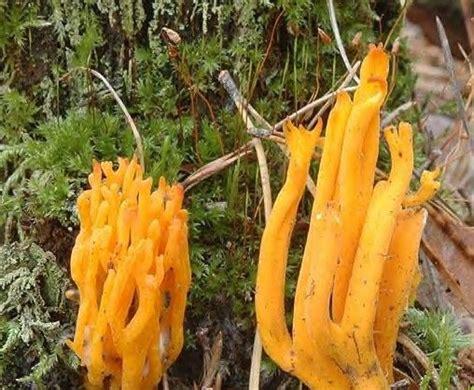 cuisiner des bolets les caloceres champignons