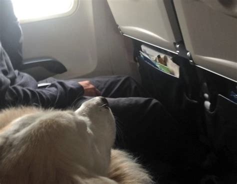 cani in aereo in cabina in cabina aereo tutto ze 76782