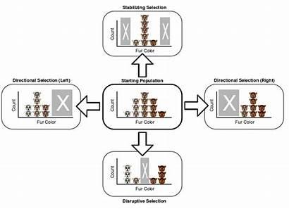 Selection Natural Patterns Directional Disruptive Stabilizing Svg